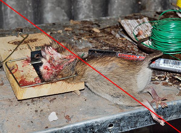 На фотографии показан результат работы обычной механической крысоловки - согласитесь, картина не самая приятная.