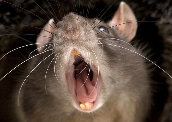 В критической ситуации крыса издает звуки, которые способны отпугнуть ее сородичей.