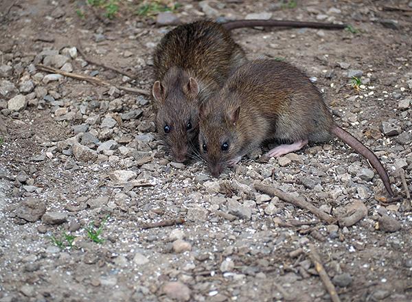 При коммуникации друг с другом крысы и мыши активно используют ультразвуковой диапазон.