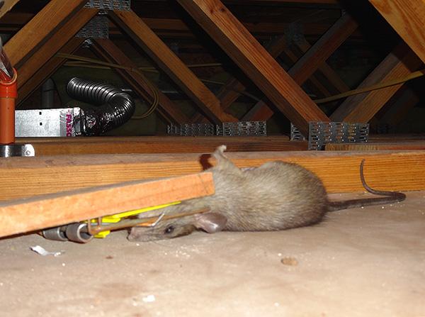 Выясняем, какие виды крысоловок существуют...
