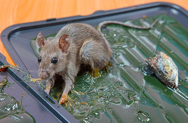 Недорогим вариантом уничтожения крыс может стать использование клеевых ловушек...