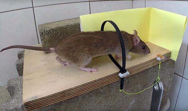 Силки для поимки крысы можно сделать своими руками из кабельной стяжки.