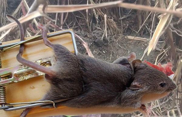 У крысоловки-давилки имеется много различных вариаций, но классикой считается конструкция из дерева с металлической пружиной и скобой.
