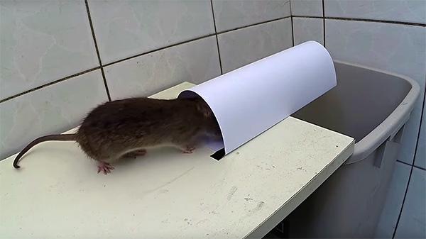 Крыса забирается внутрь тоннеля за приманкой.