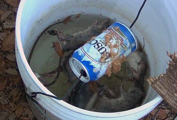 Крысоловка из ведра и крутящейся банки из-под пива...