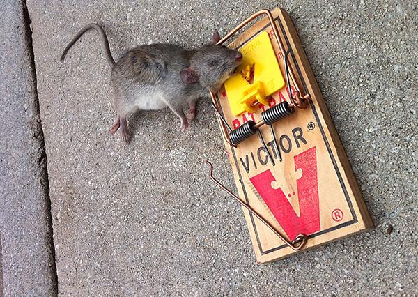 Крысоловка по размерам больше, чем стандартная мышеловка, и пружина в ней мощнее.