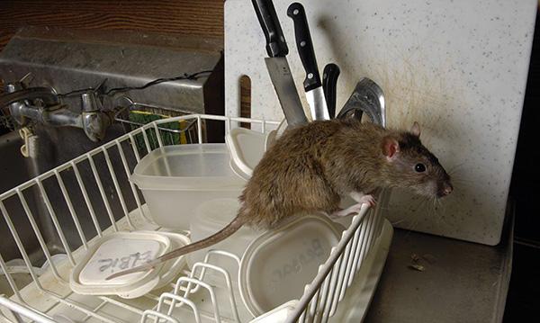 Поймать крысу удастся гораздо быстрее при правильном выборе приманки - и здесь есть несколько хитростей...