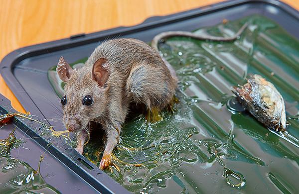 Как правило, попавшийся в клеевую ловушку зверек умирает медленной смертью от жажды.