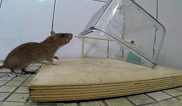 Поймать крысу можно благодаря достаточно тяжелой емкости, упирающейся на неустойчивую опору.
