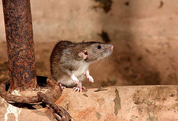 Выясняем, как можно эффективно бороться с крысами в доме...