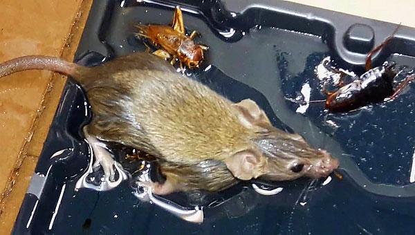 Ещё один недостаток такой ловушки - необходимость решать, что делать с мышью или крысой, которая уже приклеилась, но ещё не погибла...