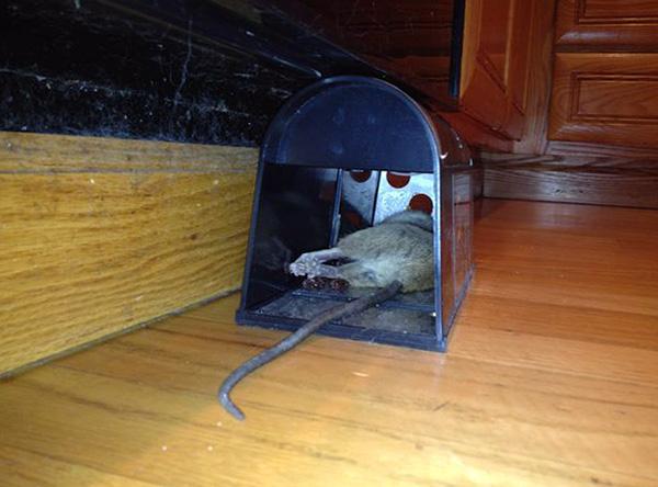 Результат работы электрической крысоловки.