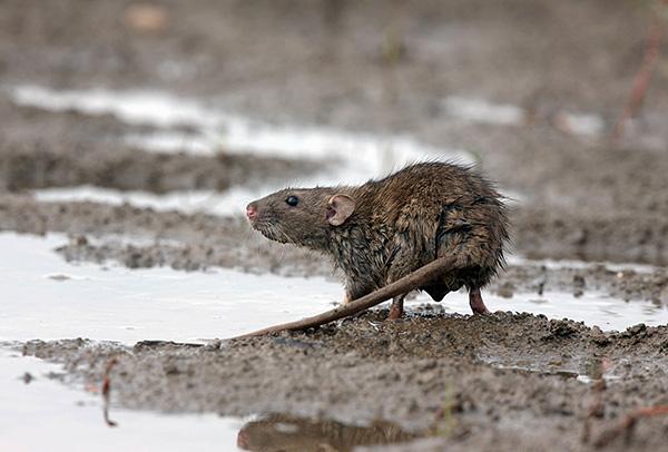 Многие жители городов недооценивают вред, который грызуны наносят или способны нанести человеку...