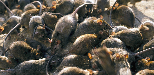 При очень большом скоплении крыс эффективно бороться с ними с помощью одних лишь кошек не всегда удается...