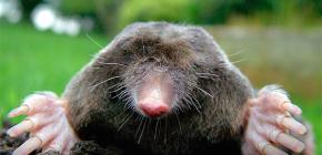 Есть ли у кротов глаза и нужно ли этим животным зрение под землей?