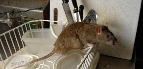 Выбираем эффективный электронный отпугиватель крыс и мышей