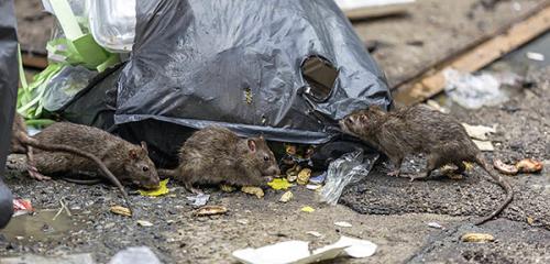 Эффективные средства для борьбы с крысами и мышами