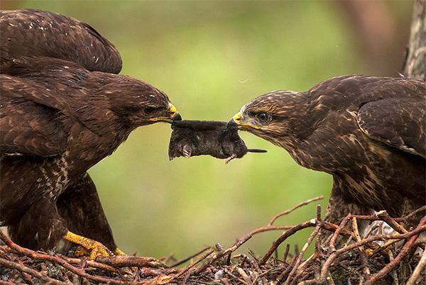 Сами кроты нередко служат пищей другим хищникам...