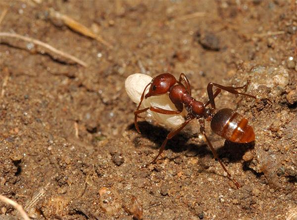 Кроты непрочь полакомиться и муравьями, которые нередко заползают в подземные ходы.