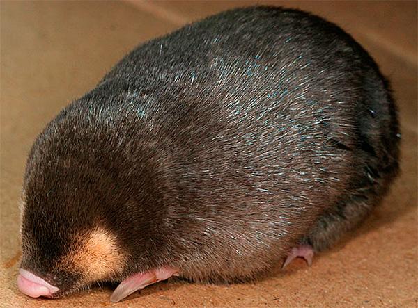 Фотография капского златокрота