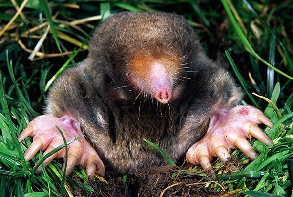 Восточный крот (Eastern mole)
