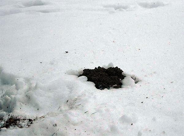 Свою вредную для огородного участка деятельность кроты продолжают и в зимнее время года, хотя с меньшей активностью.