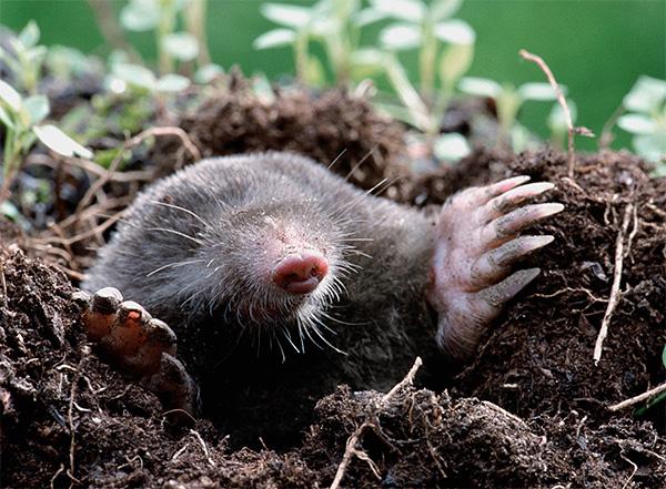 Кроты спят в своих подземных ходах несколько раз в сутки, но недолго, так как им нужно часто и помногу питаться.