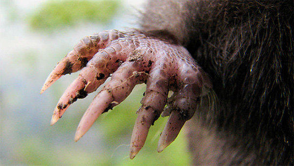 Передние лапы крота снабжены весьма мощными когтями.