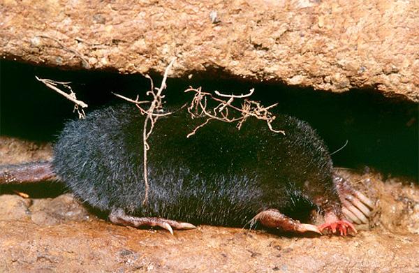 В своих подземных тоннелях зверек способен перемещаться очень быстро.