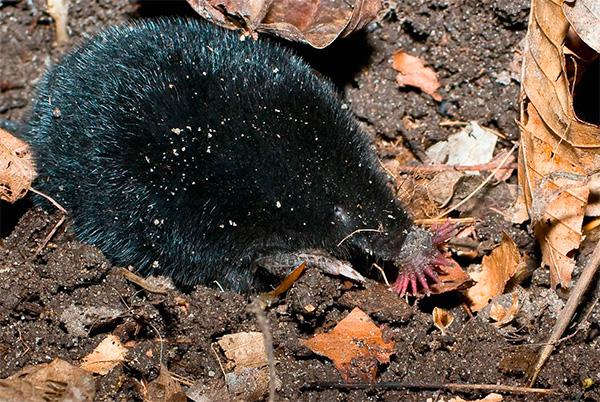 Звездоносый крот нередко вылазит на поверхность земли для охоты на насекомых и их личинок.