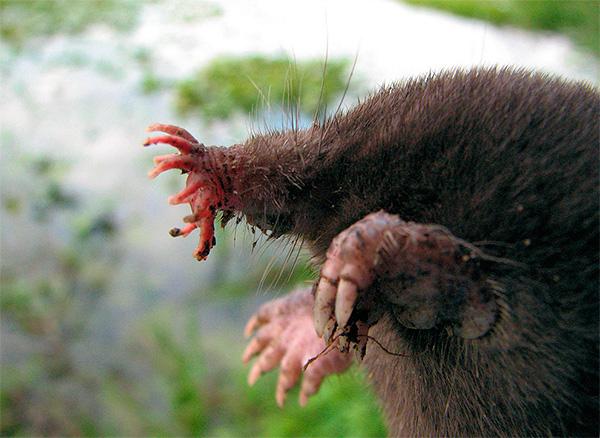 Крот звездонос (Condylura cristata)