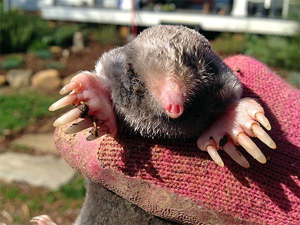 Брать этого зверька в руки следует осторожно, и лучше заранее надеть плотные перчатки, чтобы избежать неприятного укуса.