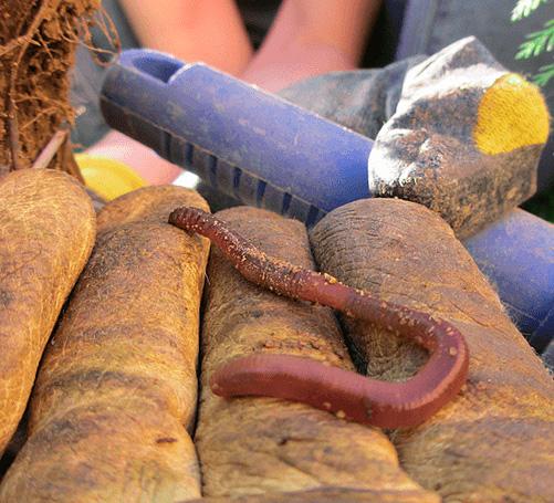 Кроты хорошо чувствуют запахи, поэтому наличие дождевых червей в ловушке повысит эффективность ее работы.