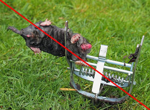 К сожалению, некоторым людям проще убивать кротов, чем ловить их живыми и выпускать на волю...