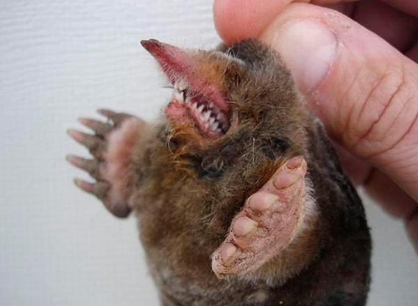 У кротов острые зубы, и они могут довольно чувствительно укусить.