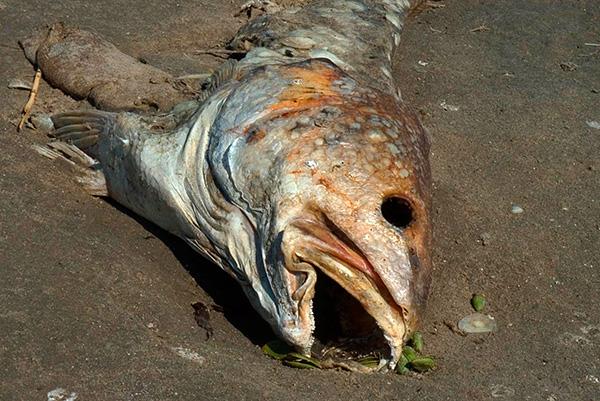 Гнилая рыба, закопанная в норки кротов, действительно зачастую помогает отпугнуть этих зверьков с участка на некоторое время.