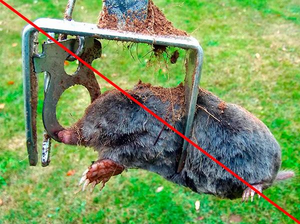 Некоторые дачники используют против кротов специальные капканы, тем самым нещадно убивая зверьков...