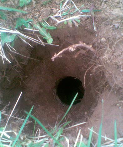 Края ловушки-ямы нужно маскировать вровень с землей.
