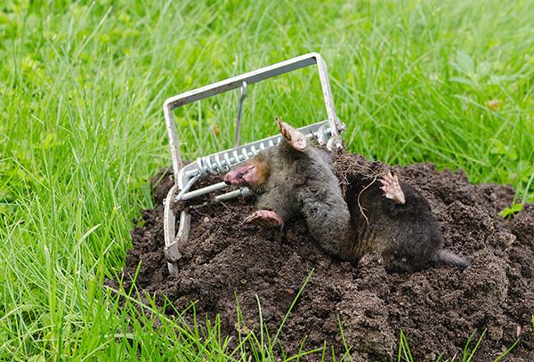 В большинстве случаев избавиться от кротов на дачном участке можно, не убивая их.