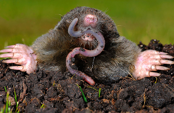 Основной пищей кротов являются дождевые черви.