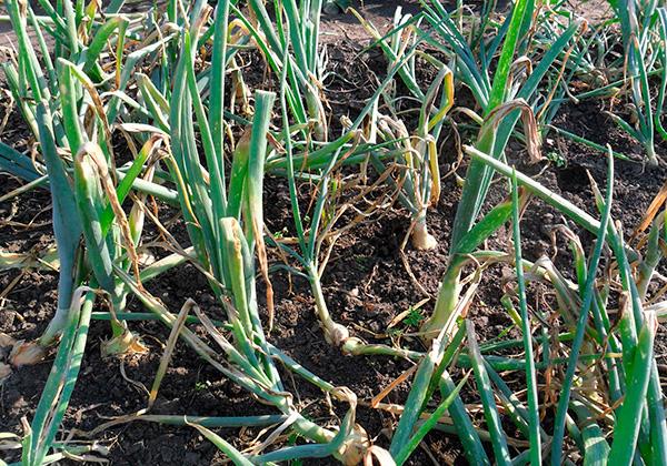 В целом ни лук, ни чеснок или другие растения не способны надежно отпугнуть кротов с участка.