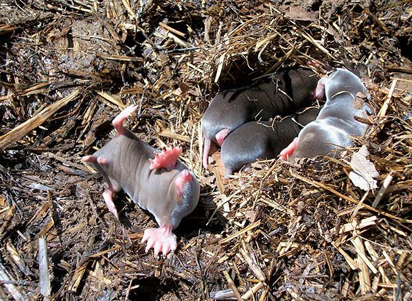 На фотографии показаны детеныши крота, выкопанные из-под земли.