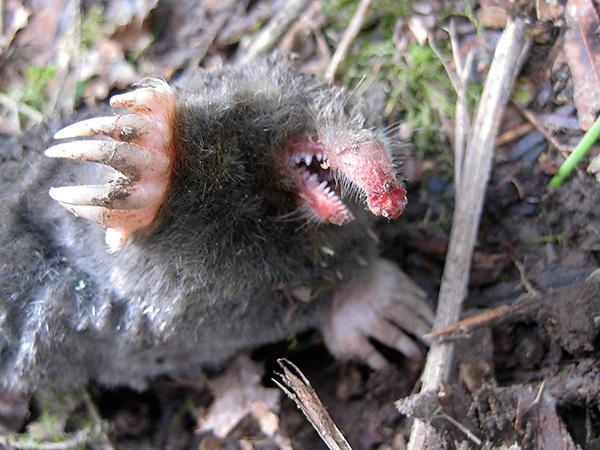 При обращении с кротом следует учитывать, что зверек имеет довольно острые зубы и может больно укусить.