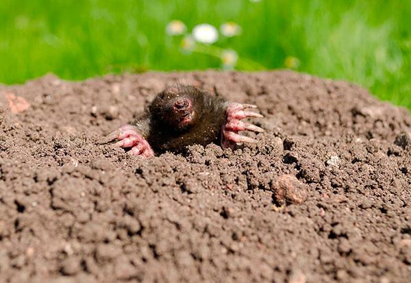 После того как все кроты на огороде будут пойманы, важно защитить участок от проникновения на него новых вредителей.