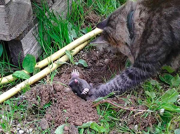 Некоторые породы кошек и собак весьма активно охотятся на кротов, однако сами при этом сильно роют землю.