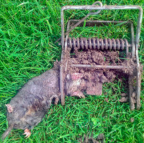 К сожалению, многие огородники предпочитают избавляться от кротов с помощью всевозможных капканов...