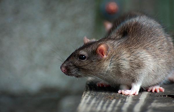 Жидкая отрава на основе пива или молока имеет преимущество перед твердой - крысы не смогут растащить ее по курятнику, а размещение в защитном коробе делает её исключительно безопасной для кур.