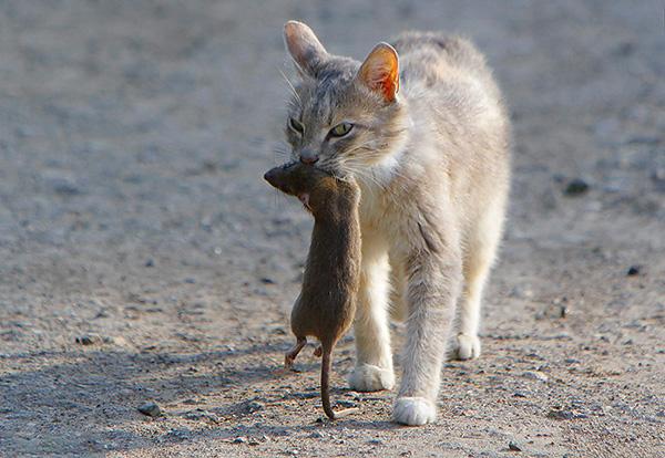 Нередко кошка-крысоловка позволяет без каких-либо дополнительных усилий избавиться от крыс в помещении (в том числе и в курятнике).