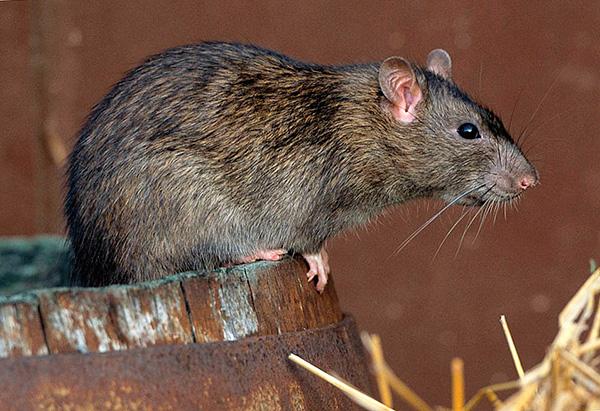 Народные средства, как правило, не дают значимых результатов в борьбе с крысами.