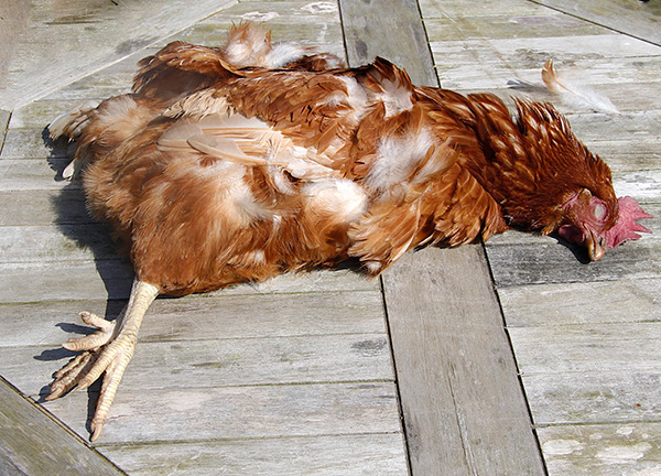 Важно иметь в виду, что крысоловки и отравы могут быть опасны не только для крыс, но и для самих куриц.